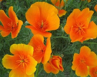 Bright Orange California Poppy Flower Seeds/Eschscholzia/Annual  100+