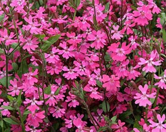 Silene Pendula Triumph Flower Seeds/Nodding Catchfly/Annual  100+