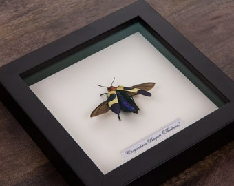 The Banded Jewel Beetle in Black Wooden Frame | Chrysochroa Buqueti Rugicollis | Real Framed Insect | Taxidermy