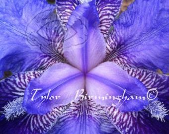 Close-up View of an Iris | Digital Download
