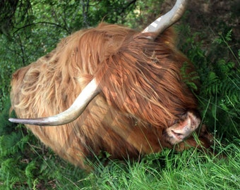 Woolly Cow