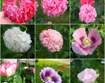 Poppy  Peony plus assorted mix of my very own, FRESH Great mix!