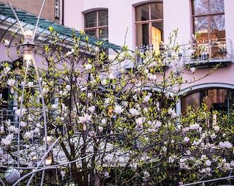 Cherry Blossom's in Berlin