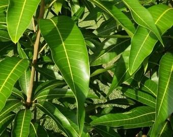 45 Fresh Mango Leafs Leaves (Organically Grown ) Organic Herb