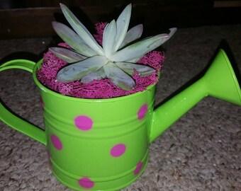 Succulent Plants, Succulent Planter, Succulent Garden, Miniature Garden, Dish Garden, Plant Pot, Succulent Favor, Centerpiece, Hardy Plants