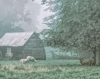 Sheep. Jericho, Vermont