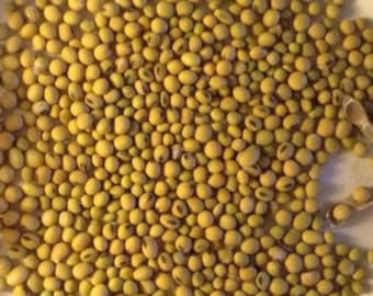 NON GMO Soybean Seeds - Homegrown Organic - Free Shipping