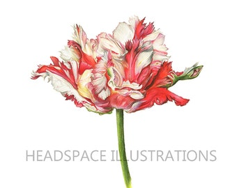 Parrot Tulip Floral Art  - Colored Pencil Flower Print by Headspace Illustrations