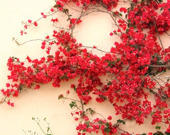 Red bougainvillea against a cream wall.