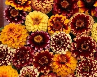 50+ Aztec Sunset Mix Zinnia Flower Seeds