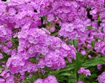 30+ Light Purple Phlox / Fragrant Shade-Loving Perennial Flower Seeds
