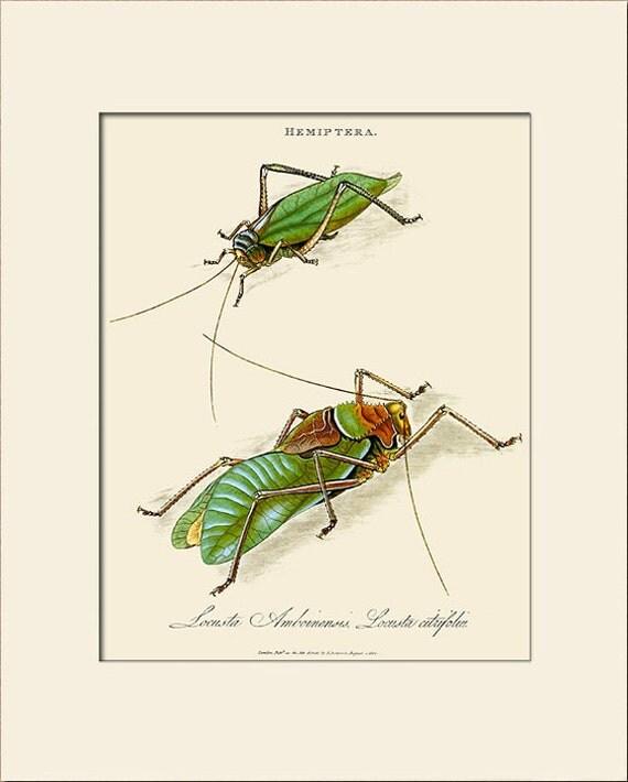 Locusta Amboinensis, India Insect, Edward Donovan, Art Print with Mat, Natural History Illustration, Wall Art, Wall Decor, Vintage Print