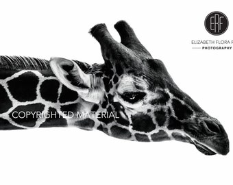 Giraffe, Reticulated Giraffe, Fine Art Prints, Nature Photography, Wildlife Photography, Black and White Photography, Africa, Photos
