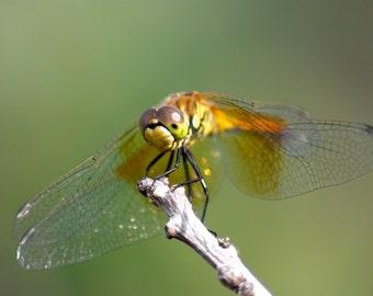 Dragonfly Fine Art Photographic Print