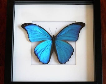 Giant Blue Morpho Butterfly Display