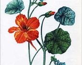 PRINT SALE 20% OFF Vintage 1970 Nasturtium Flower Medicine, Herbal Plants Print for Framing, Botanical Print, Flower Print
