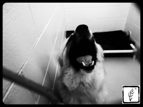 B&W Photograph, photo print, wall art, home decor, animal, dog, shelter, sad, haiku, adopt, fine art, howl