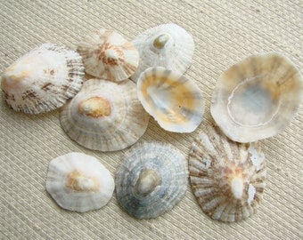 9 Mixed Size Baja Limpet Shells (SH101) Mexican Hat Sea Shells, Sombrero shells, Home decor, Shop display, Multi-media art material