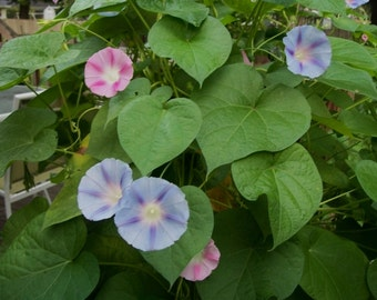 Morning Glory Seeds, Old Fashioned Morning Glories, Pink and Blue Morning Glory Seeds Climbing Vine Morning Glories