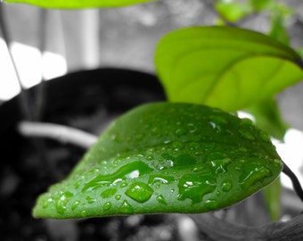 Photograph: Green Leaf Artistic Nature Photography 8x10