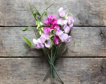 Everlasting Sweet Pea, perennial sweet pea, organic heirloom seeds, from our farm, eco friendly gardener gift, cottage garden, gardener