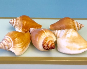 Seashells - Canarium Shells Set of 5 Golden Brown and White - Bulk Shells/Craft Shells