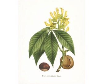 Vintage Buckeye Illustration - Traditional Botanical Natural History Giclee Art Print