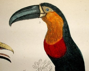1860s ANTIQUE TOUCAN PRINT,hand colored engraving,birds,red,yellow,orange,gray,black,ivory,blue