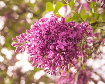 Beautiful Purple Lilac Blossoms - Springtime Photo Print