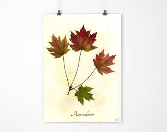 Autumn Red Maple Leaves - Pressed Fall Leaves - Red Maple Botanical Art