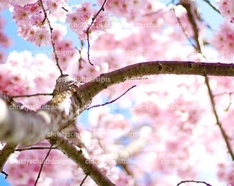 Cherry Blossom Flower Print - Fine Art Photography