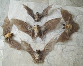 Collection of 5 Bat Specimens - SHIP FREE
