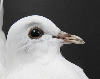 White Fantail Dove Pigeon Real Bird Taxidermy Mount