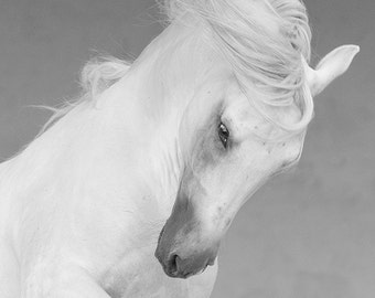The White Stallion Shakes His Head - Fine Art Horse Photograph - Horse - Lusitano - Fine Art Print
