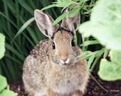 65% OFF Nature Photography - Nursery Art - Cottontail Bunny Rabbit - 8x10 Fine Art Photo