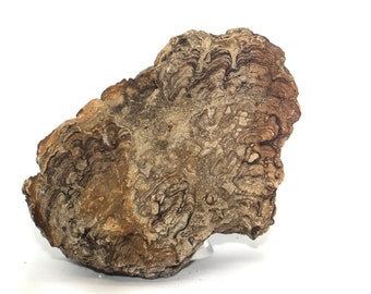 Stromatolite (Fossil Algae), Wyoming