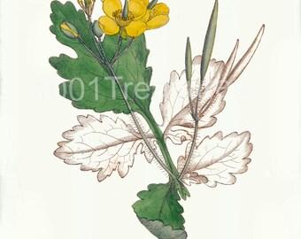 Antique Botanical Art Print - Home Decor - Wall Art - Chelidonium majus 2