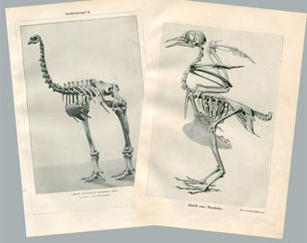 Set Vintage Prints Birds Skeletons Anatomy Brehms Tierleben 1920s Black and White
