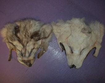 2 real animal fur Tanned fox face head taxidermy skin pelt hide parts F-2