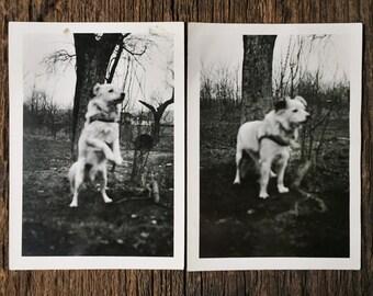 Pait of Original Vintage Photographs Nature Dog