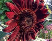 Moulin Rouge Sunflower Seed Red Sunflowers Great for Cut Flower Gardens Helianthus Seeds Moulin Rouge