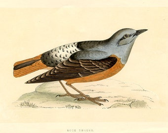 c.1865 Rock Thrush Antique Hand Colored Engraving (in its own time!) Morris History of British Birds