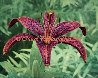 Rain Drops Red Lily Flower Green Art Print Floral Home Decor Matted Picture A200