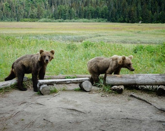 Alaska Bears. Wildlife Photography. Nature, Bears. Fine Art Photography. Color Image. Cheri Lewis Photography.