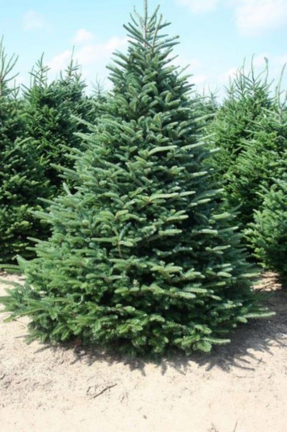 Fraser Fir Tree Seeds Abies fraseri 25 Seeds  Fraser Fir Tree...