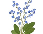 Forget-Me-Nots Cards, Pressed Flowers, Set of 6 Notecards - #065
