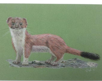Signed Limited edition mounted giclee art print of pencil crayon drawing of a stoat