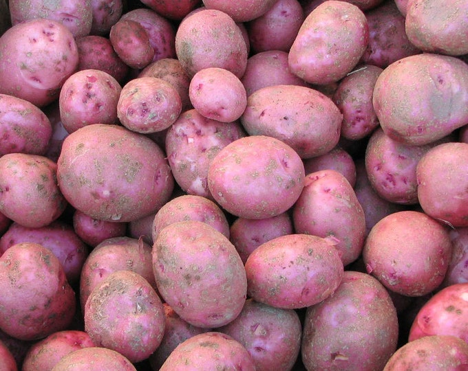 Red Pontiac Seed Potatoes 5 Lbs. Certified Organic Red Skinned - Spring Shipping Red Potatoes Non-GMO