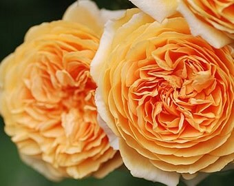 Englische Rose Crown Princess Margareta Auswinter Rose Seeds,376,yellow rose,roses seeds,planting roses,growing roses from seeds