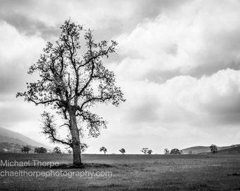 Oak Tree - Bena Rd at CA 223